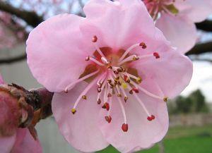 Pfirsichblüte_Makro