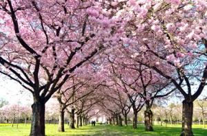 Blütentraum: Garten mit Japanischer Yoshino Kirsche
