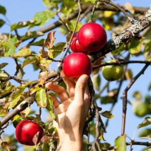 Apfel, Ernte