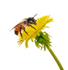 bee on isolated yellow bright dandelion